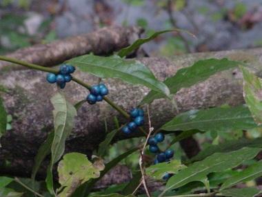 DSC02333瑠璃実の木.JPG